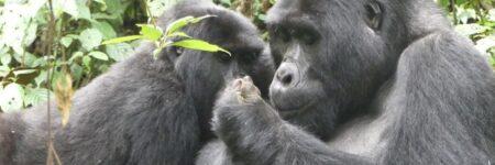 Gorilla-Habitat-logo-1